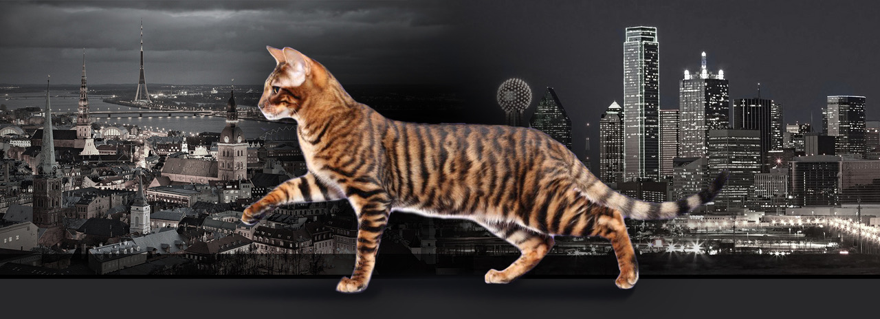 Silkyamber – Toygers Cattery